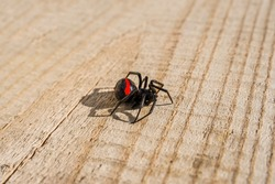 Black poisonous spider. Spider Black Widow. Close-up. Red mark on the back of the spider. Poisonous Asian spider Karakurt. Poisonous insect of hot countries. Wood surface
