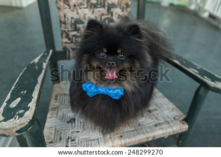Black Pomeranian dog smiles in a rocking chair