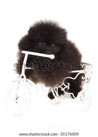 pomeranian wallpaper. Black Pomeranian puppy on