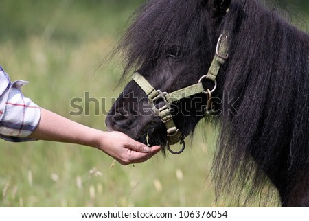 Black pony eating from hand