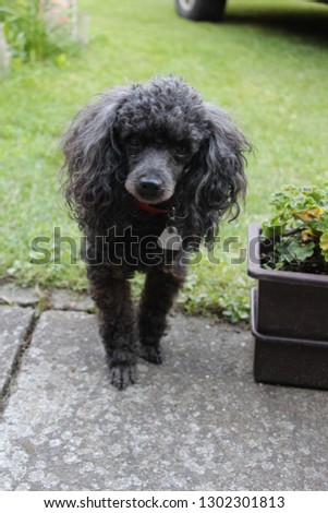 Black poodle dog pictured  on a pavement with green grass in background looking at the camera.