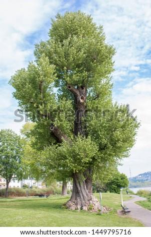 Black Poplar (Schwarzpappel) Populus tree
