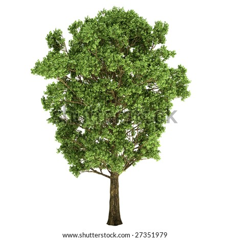Black Poplar Tree Isolated Stock Photo 27351979 : Shutterstock