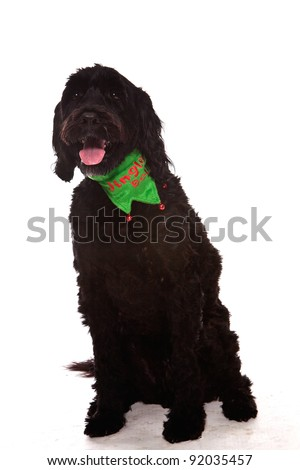 Black Portuguese water dog sitting looking at the camera