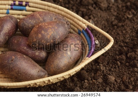 black potato in basket on the soil in a garden, top view