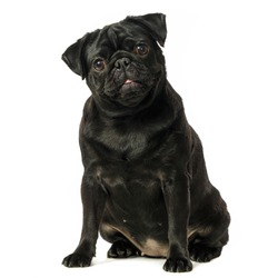 Black pug dog, on white background, isolated