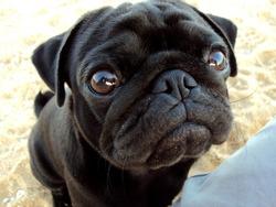 black pug dog pedigree pet