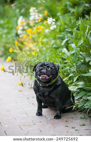 Black pug dog sits and smiles in the garden