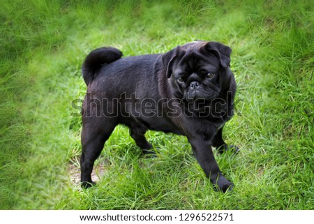 Black pug puppy walking on the grass in summer time