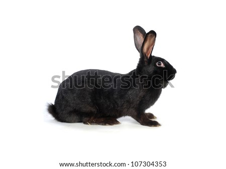 black  rabbit on a white background
