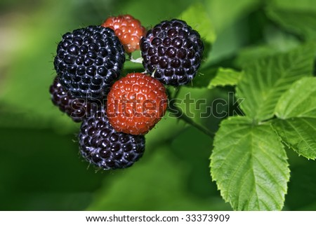 Black raspberries (Rubus occidentalis) ripening at the tip of a cane in a home garden
