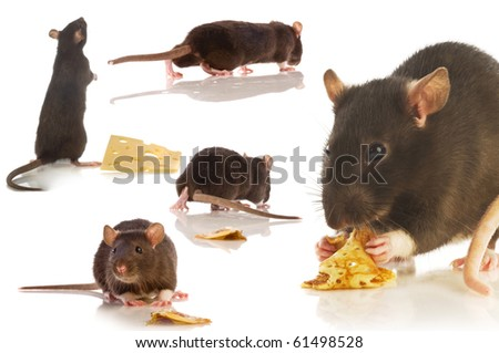 black rat isolated collage