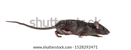 Black rat, Rattus rattus, in front of white background Foto d'archivio ©