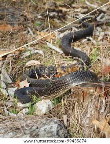 Black Rat Snake, Pantherophis obsoleta - stock photo