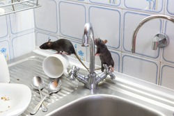 Black rats(Rattus norvegicus), dirty white plates and cups on a sink in an apartment house in a kitchen. Fight with vermins, pest control, rodents in an apartment concept. Extermination.