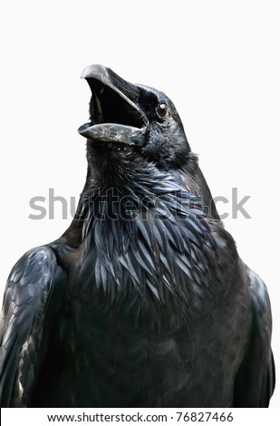 Black raven isolated on white background