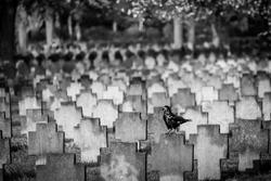 black raven sits on tombstone