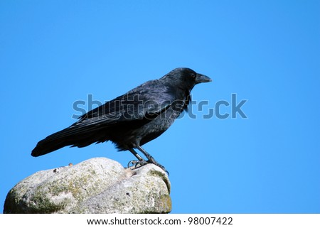 Black raven sitting on a stone against blue sky