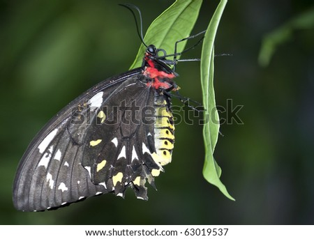 Black, Red, Yellow, and White Butterfly hanging on a leaf