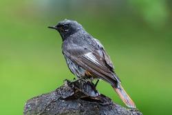 Black Redstart after a bath sits on a piece of wood. Moravia. Czechia. Europe.