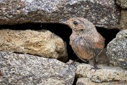 Black redstart female bird close-up near nest (Phoenicurus ochruros)