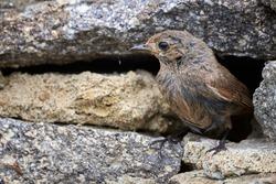 Black redstart female bird close-up (Phoenicurus ochruros)