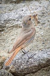 Black redstart female bird with insect in her beak (Phoenicurus ochruros)