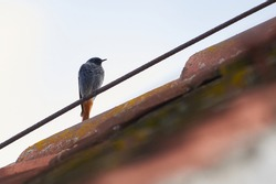 Black redstart male bird sitting on a roof (Phoenicurus ochruros)