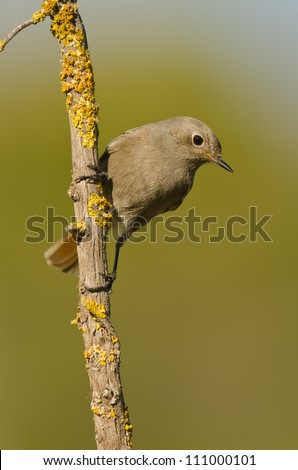 Black redstart (Phoenicurus ochruros) perched on a branch, Alicante, Spain