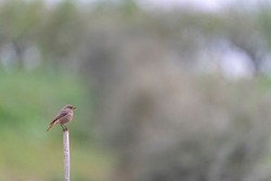 Black redstart, Tithy's redstart, blackstart or black redtail (Phoenicurus ochruros) Malaga, Spain