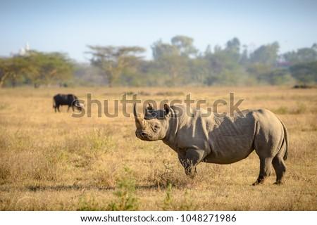 Black Rhino and african buffalo in Lake Nakuru national park on safari, wildlife in Kenya with yellow grass. rhinoceros browsing and defending territory