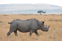 Black rhino and his birds