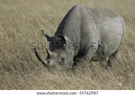 black rhino grazing