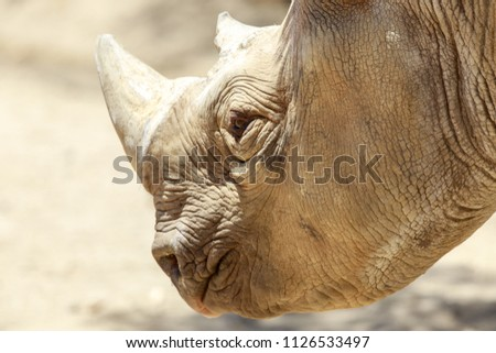 Black Rhino Head Details. The black rhinoceros or hook-lipped rhinoceros (Diceros bicornis) is a species of rhinoceros, native to eastern and southern Africa.