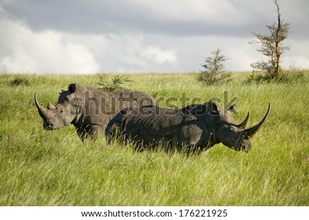 Black Rhino in the green grass of Lewa Wildlife Conservancy, North Kenya, Africa