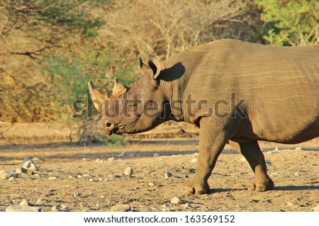 Black Rhino - Wildlife Background from Africa - Rare and Endangered Species