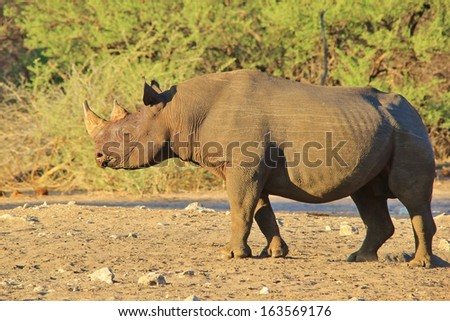 Black Rhino - Wildlife Background from Africa - Rare and Endangered Species of Brut format