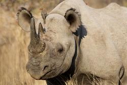 Black rhino with bird