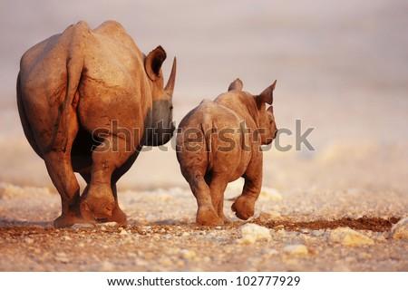 Black Rhinoceros cow and calf walking away in Etosha desert