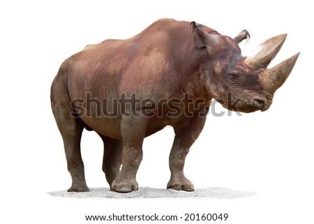 Black Rhinoceros (Diceros bicornis) isolated on white background - stock photo