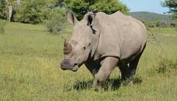 Black rhinoceros in the bush