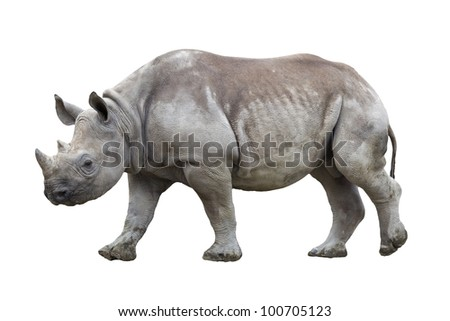 Black rhinoceros isolated on white