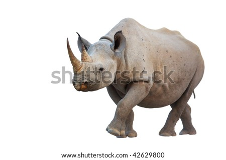 Black Rhinoceros isolated on white background; Diceros bicornis