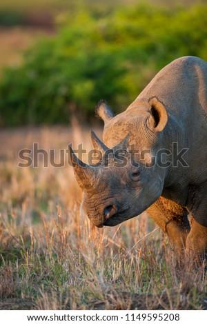 Black rhinoceros or hook-lipped rhinoceros (Diceros bicornis). KwaZulu Natal. South Africa