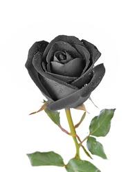 Black rose isolated on white background.