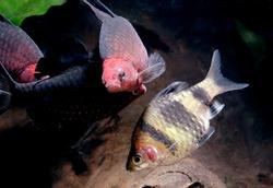 black ruby barb and Tiger barb in the aquarium