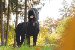 Black Russian Terrier, a big dog