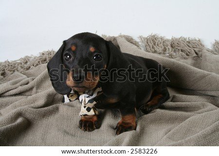 stock photo : Black sausage dog puppy
