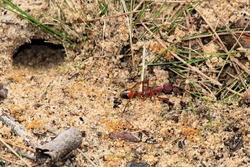 Black-scaped Bull Ant (Myrmecia nigriscapa) removing sand during nest excavation, South Australia