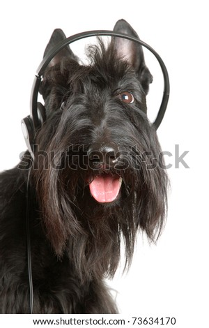 Black scottish terrier with headphones on a white background